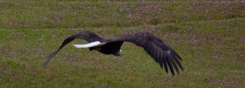 bald eagles are plentiful on Orcas Island