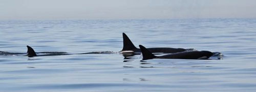 pods of orca whales swim near orcas island